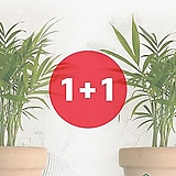 [1+1 이벤트] 꽃이피는마을 테이블야자 스킨답서스 홍콩야자 나한송 부자란 공기정화식물 모음전