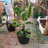 바나나나무 50~80cm 499|