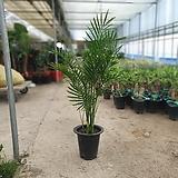 카타락트야자 중대품 관엽식물 구종겐차야자 켄차야자 80~120cm 299|