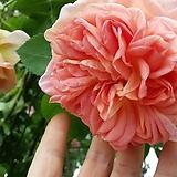 독일장미.알제마스터.신상품.old rose 향기.예쁜 엘로우환타색.(꽃형 예뻐요!).꽃10cm.울타리.넝쿨장미.월동가능.상태굿..늦가을까지 피고 합니다.~|