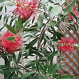 병솔나무.빨강색꽃.상태굿.남부지역에서 노지월동가능합니다~|