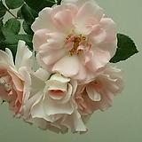 독일장미.4계.로젠스타트 프라이싱.예쁜주황그라데이션.old rose 향기.꽃7~8cm.아주예뻐요.정원관목장미.월동가능.상태굿.늦가을까지 피고 합니다.~|