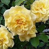 독일장미.4계.슈테른탈러.예쁜엘로우 노랑색.old rose 향기.꽃12cm.아주예뻐요.정원관목장미.월동가능.상태굿.늦가을까지 피고 합니다.~|