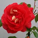 독일장미.4계.게브뤼더그림.예쁜밝은오렌지,레드,핑크색.old rose 향기.꽃7~8cm.아주예뻐요.정원관목장미.월동가능.상태굿.늦가을까지 피고 합니다.~|