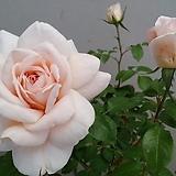 독일장미.4계.라이온스로즈.예쁜크림화이트색,연살구핑크색.old rose 향기.꽃7~8cm.아주예뻐요.정원관목장미.월동가능.상태굿.늦가을까지 피고 합니다.~|