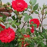 독일장미.4계.쯔베르겐페.예쁜밝은오렌지.레드색.old rose 향기.꽃4~5cm.아주예뻐요.정원장미.월동가능.상태굿.늦가을까지 피고 합니다.~|