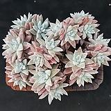 짱짱한화이트그리니(분채배송)20두전후|Dudleya White gnoma(White greenii / White sprite)