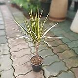옐로우마지나타 소중품 35~50cm 119 공기정화식물 반려식물