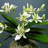 Crassula Americana cv.Flame