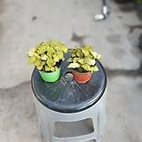 원플원 2개 오렌지휘토니아 소품 10~20cm 55 공기정화식물 피토니아|