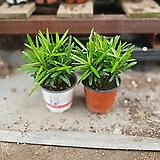 원플원 2개 나한송 10~25cm 49 공기정화식물 개업식물|
