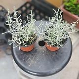 쿠션부쉬15~25cm 99 야생화 조경수 수입식물|