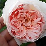 영국장미영국장미.윌디브.신선한 향기.예쁜살구빛 핑크색.(로제트꽃형 예쁜형).울타리.넝쿨장미.월동가능.상태굿..늦가을까지 피고 합니다.|
