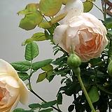 영국장미.대품.울러톤올드홀old rose 향기강함.예쁜연한노랑색.파스텔노랑색(꽃형 예쁜형).울타리.넝쿨장미.월동가능.상태굿..늦가을까지 피고 합니다..|