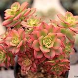 Aeonium decorum f variegata