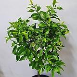 별자스민/향기꽃나무