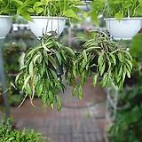 원플원 2개 호야웨이티 50~80cm 199  공중식물 에어플랜트|