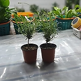 원플원 2개 외목라벤다 소품 10~25cm 49 허브 공기정화식물|