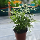신종푸테리스고사리 소품 10~25cm 32 공기정화식물|
