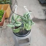 원플원 2개 엔젤스킨 중품 35~45cm 159 공중식물|