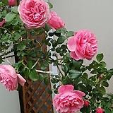 4계넝쿨명품수입장미.레오날드다빈치.(로제트모양겹형.예쁜진핑크색).old rose향기.아주예뻐요.울타리.넝쿨장미.월동가능.상태굿..늦가을까지 피고 합니다.|