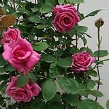 4계피스장미.샤를르드골.붉은 보라색.꽃이 큰형.아주예뻐요.울타리장미.월동가능.상태굿.늦가을까지 피고 합니다.|