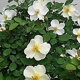 영국장미.대품.키가든즈.old rose 향기.예쁜노란색(홑꽃형 예쁜형).울타리.넝쿨장미.월동가능.상태굿..늦가을까지 피고 합니다.꽃이 장관입니다!|
