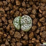 C.obcordellum 홍문|