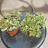 원플원 2개 카멜레온포테리카 소품 10~20cm 49 야생화 다육식물 포체리카|