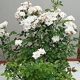 스템장미.스탠드장미.투폴리나 시리즈.!!!예쁜핑크색!!!.old rose 향기.(꽃형 예쁜형).월동가능.상태굿..늦가을까지 피고 합니다..~~|
