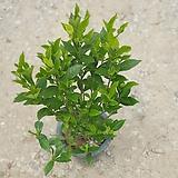 열매치자 중대품 35~60cm 99 야생화 관엽식물|