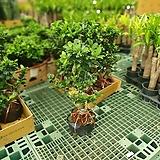 가지마루펜더 펜다 중대품 50~70cm 299 야생화 공기정화식물|
