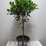 프랑스고무나무 외목대