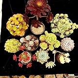 특대특가상품10종♡ 미인경,마리드블랙,라울,먼로,둥근잎비취후리데,화이트미니마,마리아철화,로스코프,라탐,살구미인금