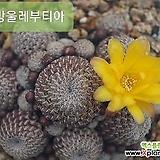 15ㆍ솔방울레부티아선인장.꽃사진첨부  