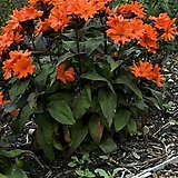 자엽동자꽃 4포트 묘종 8cm포트묘|