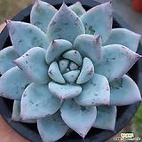 25ㆍ야생콜로라타 Echeveria colorata