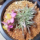 0524 알스토니 핑크꽃|Avonia quinaria ssp Alstonii