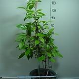 흑노호 3번-성목-약용식물-전국월동 노지재배가능-동일품배송|