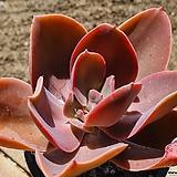 원종데코라 2410 0506 Echeveria gibbiflora Decora