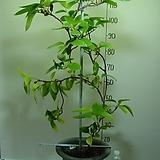 흑노호 5번-성목-약용식물-전국월동 노지재배가능-동일품배송|