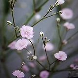 분홍겹안개(재입고)3|