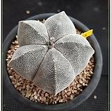 온즈카 대품 실생|Astrophytum myriostigma cv. ONZUKA