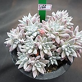 Dudleya White gnoma(White greenii / White sprite)