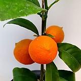 오렌지레몬나무(열매수형/10)-동일품배송|