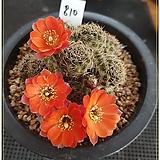 (접목이라도 꽃이)백궁환 헤게이(Rebutia paymaea haagei) |
