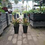 원플원 아글레오네마엔젤중품 25~35cm 189 공기정화식물|