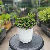 구피아 쿠페아 중품 15~25cm 59 초화 관엽식물|