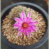 백표환 실생(Mammillaria napina)|