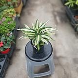 드라세나말라이카콤팩타 25~40cm 119 공기정화식물|